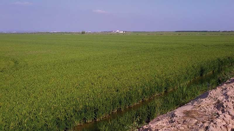 rizière Albufera Espagne